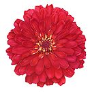 Zinnia in Red by Suzannah Alexander