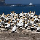 Australasian Gannets - Portland VIC (3946) by Emmy Silvius