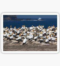 Australasian Gannets - Portland VIC (3946) Sticker