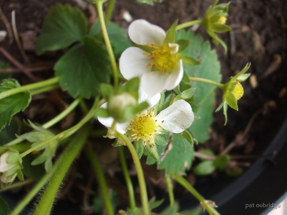 Peters Strawberry Plant by pat oubridge