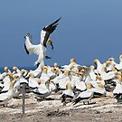 Australasian Gannets - Portland VIC (4017) by Emmy Silvius