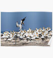 Australasian Gannets - Portland VIC (4017) Poster