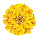 Zinnia in Yellow by Suzannah Alexander