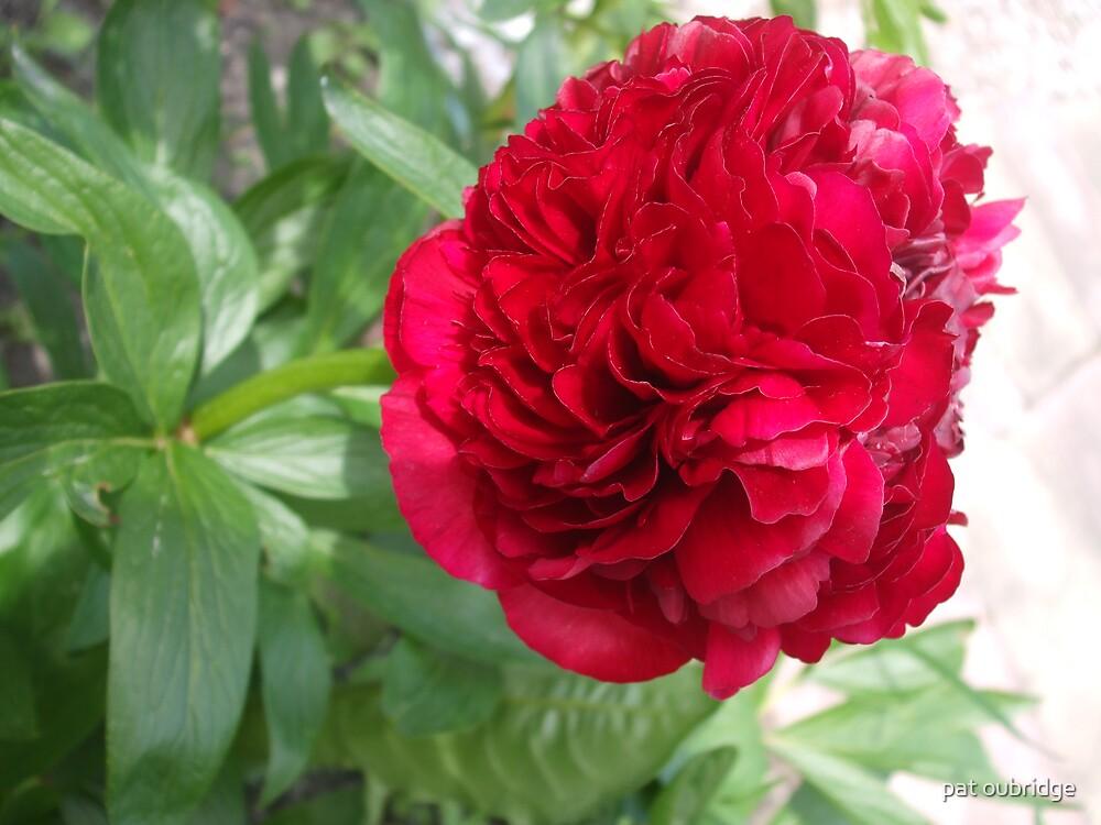 Peony Rose by pat oubridge