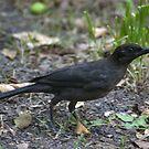 NC Blackbird by Sarah McKoy