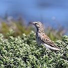Australasian Pipit - Werribee VIC (198) by Emmy Silvius