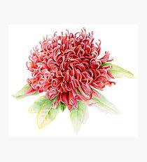 Waratah Telopea speciosissima red flower watercolor Photographic Print