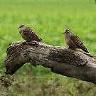 Common Bronzewings - Little Desert NP VIC (559) by Emmy Silvius