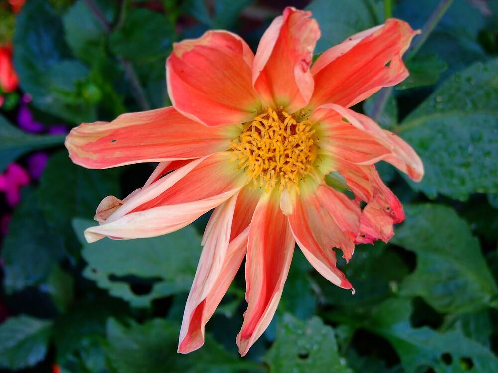 Orange Flower by hallix