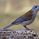 Grey Shrike Thrush by Peter Krause
