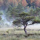 18.7.2017: Pine Tree at Marsh by Petri Volanen