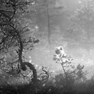 18.7.2017: Twisted Pine Tree by Petri Volanen