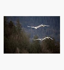 A Pair of Swan Pairs Photographic Print