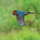 ~ Kingfisher in-flight ~ by M S Photography/Art