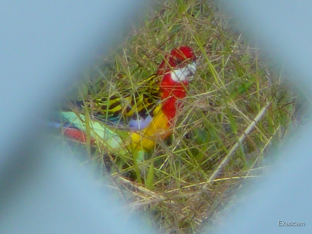 CLOSING IN ON ROSELLA PARROT by Ekascam