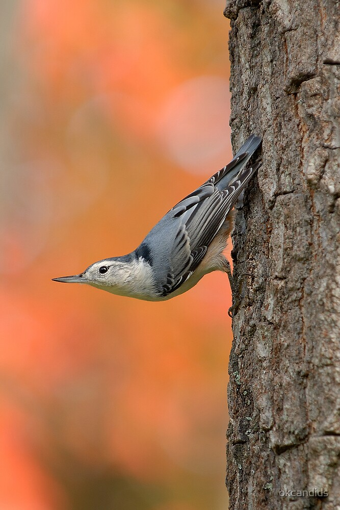 White-Breasted Nuthatch by okcandids