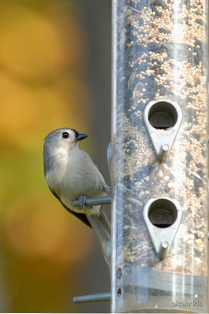 Tufted Titmouse by okcandids
