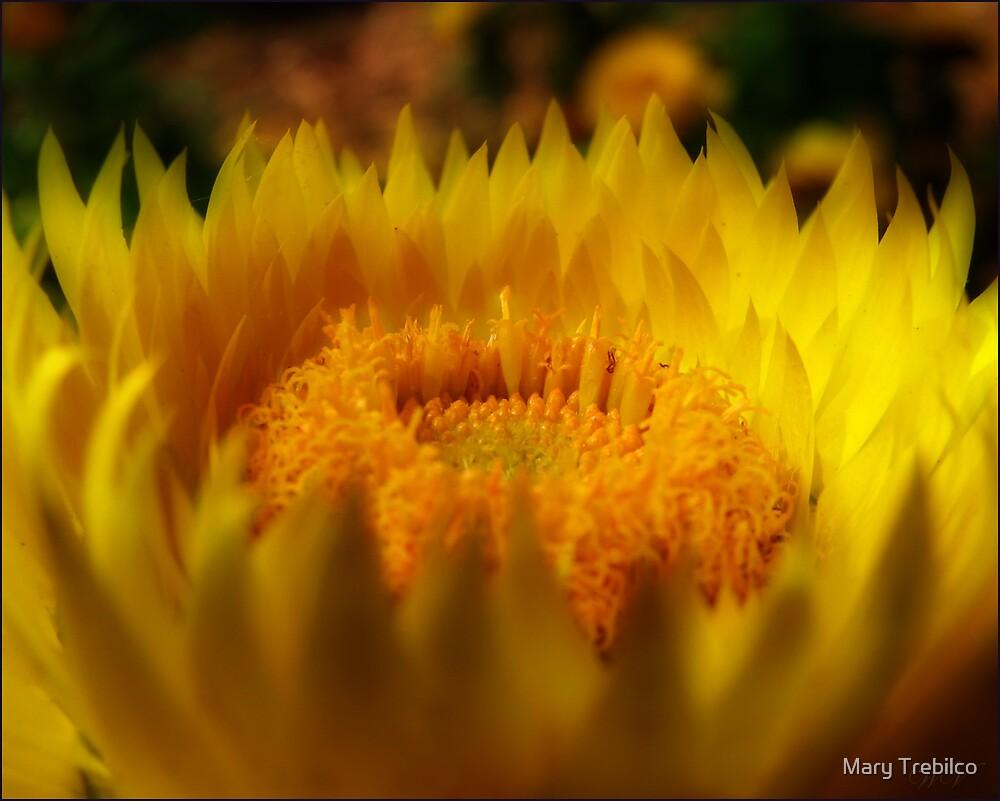 Sunshine on daisies.... by Mary Trebilco