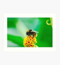 Buff-Tailed Bumble Bee Art Print