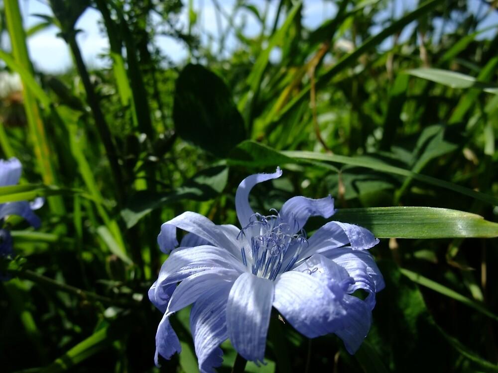 Common Chicory (Cichorium intybus) by IOMWildFlowers