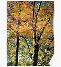 Autumn Blaze Maple Poster