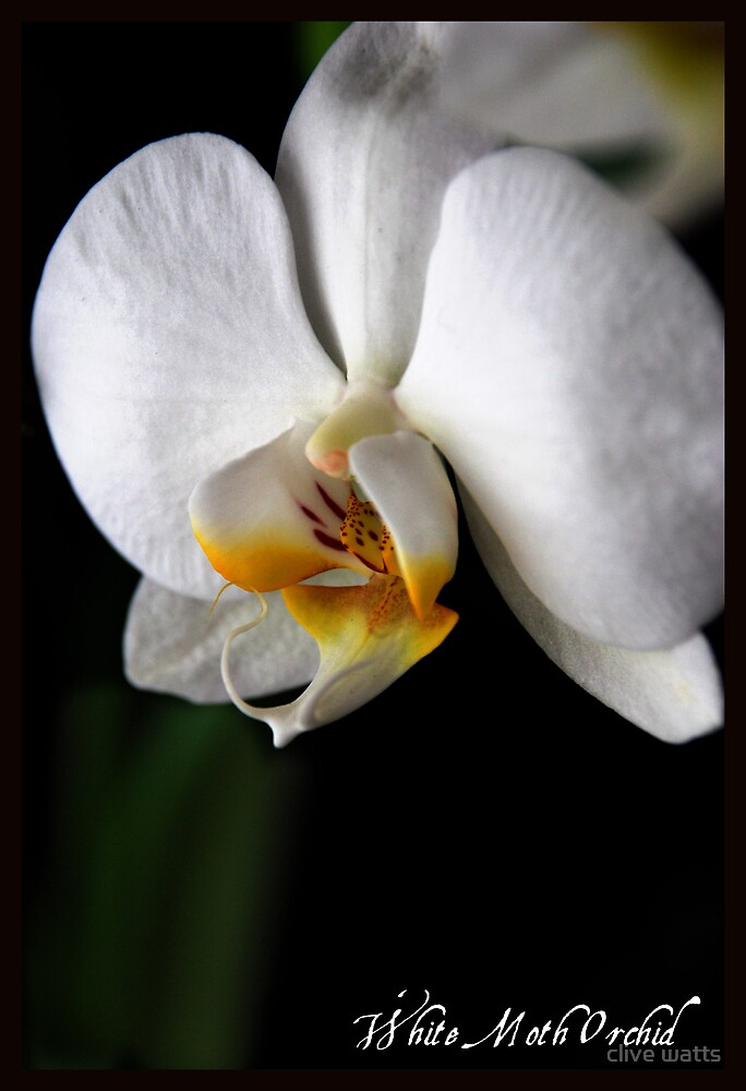 Orchid by clive watts