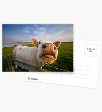 Cheeky Cow Postcards