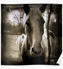 Square Vintage Horses equine photography Poster