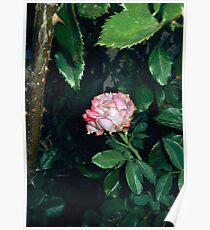 pink white rose 07/17/17 Poster