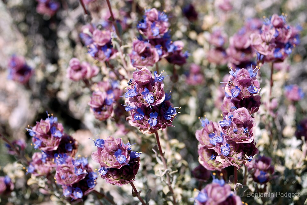 Mojave Violet by Benjamin Padgett