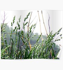 Rain on tall grass Poster