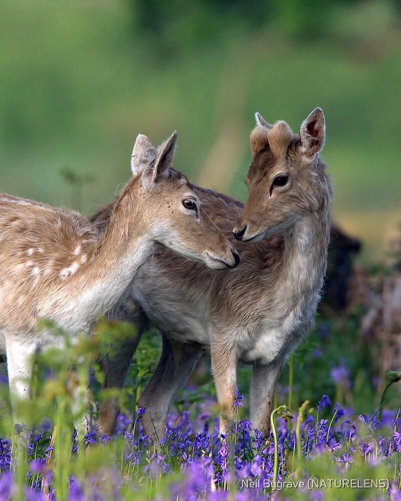 Fallow Deer in Spring Time by Neil Bygrave (NATURELENS)