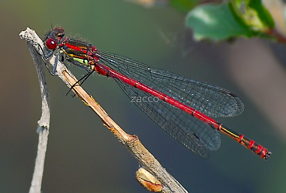 red dragonfly by zacco