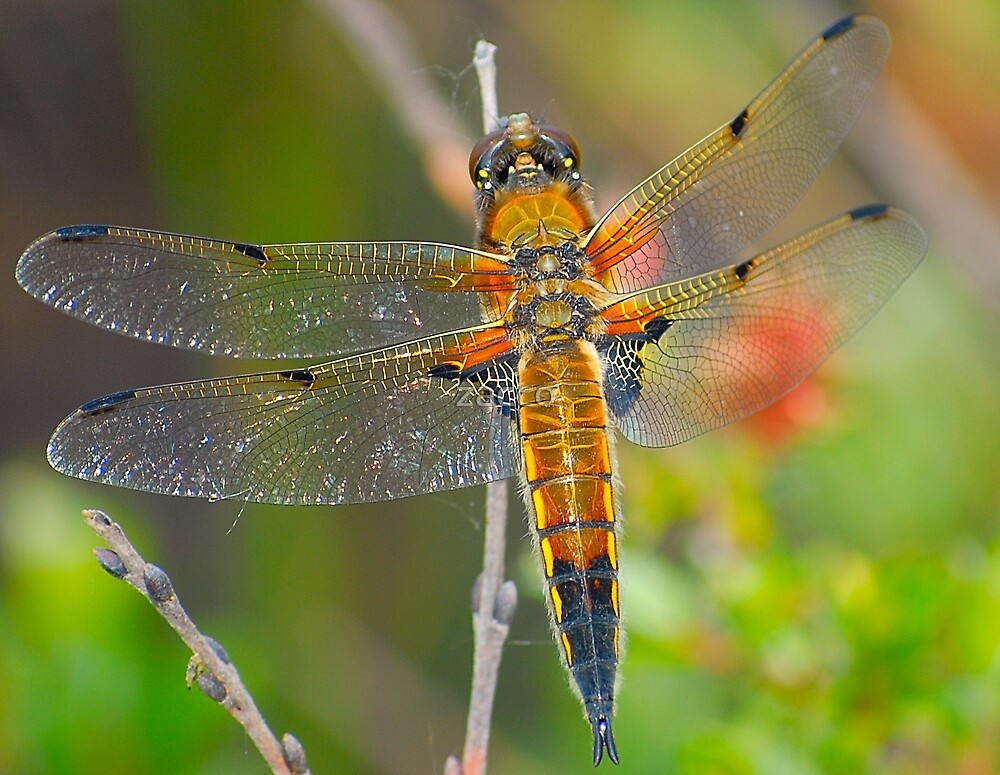 orange dragonfly by zacco