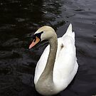 Swan along by Kevin Meldrum