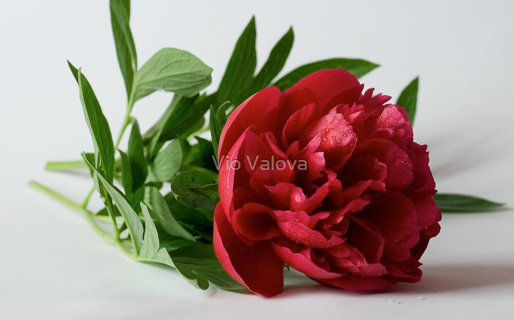 peony by VioDeSign
