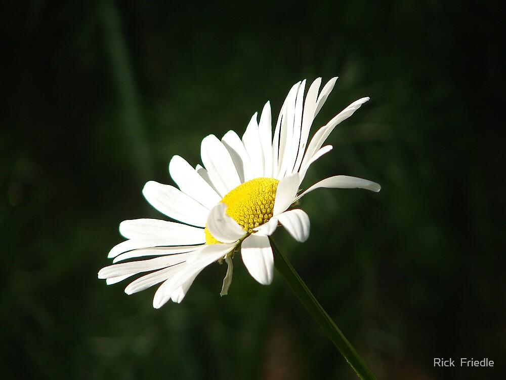 Daisy by Rick  Friedle