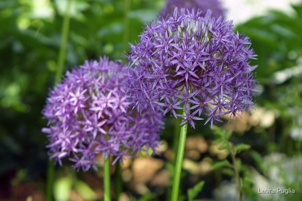 Alliums by Laura Puglia