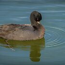 Eurasian Coot by Bette Devine