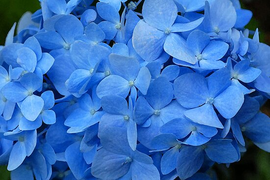 Hydrangea  by Bonnie T.  Barry
