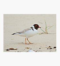 Hooded Plover Photographic Print