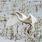 Little Egret Take-off by MikeSquires