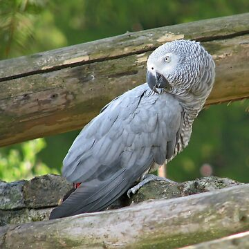 African Grey Parrot  by as2ae