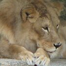 Lion by kiwiboo