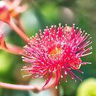 Eucalyptus Flower by Kim Austin