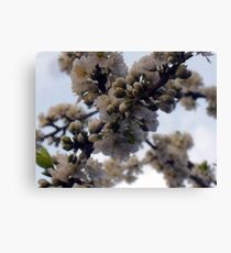 SNOW WHITE CHERRY BLOSSOM Canvas Print