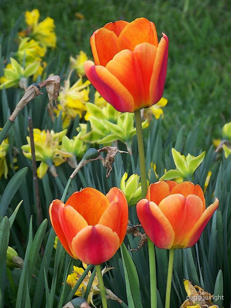Orange Tulips by peggywright
