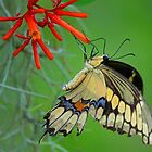 Giant Swallowtail Butterfly by Anthony Goldman