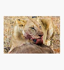 Africa - Lick from a lioness Photographic Print