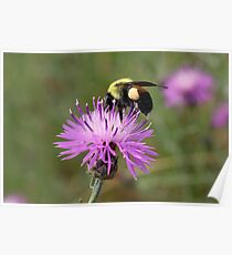 Busy Bee on Purple Flower Poster